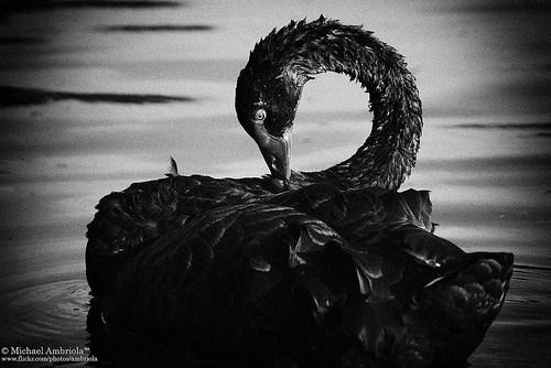 Los cisnes negros existen y cómo beneficiarse de ellos
